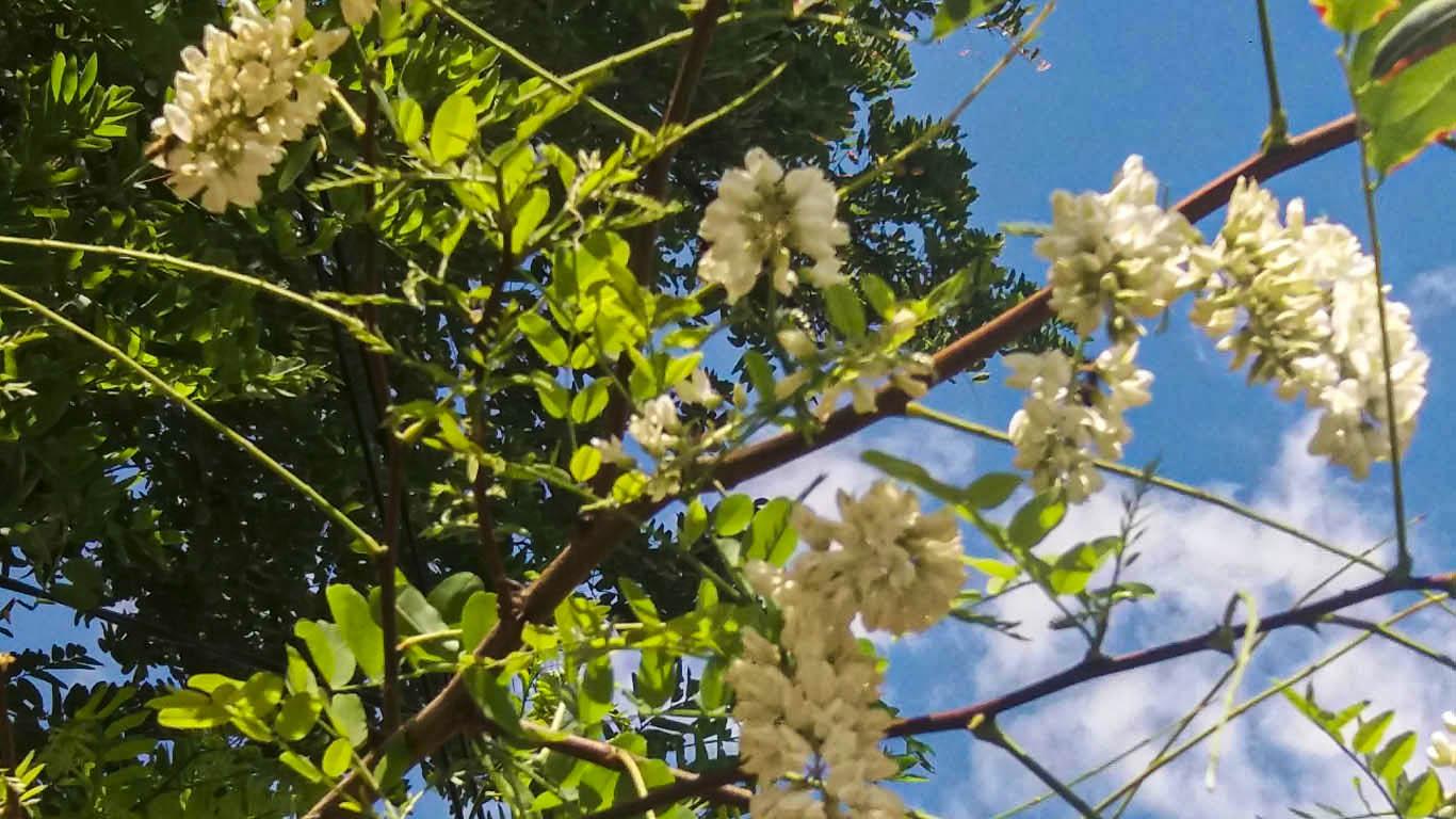 Белой акации гроздья душистые… зацвели в Целине в августе